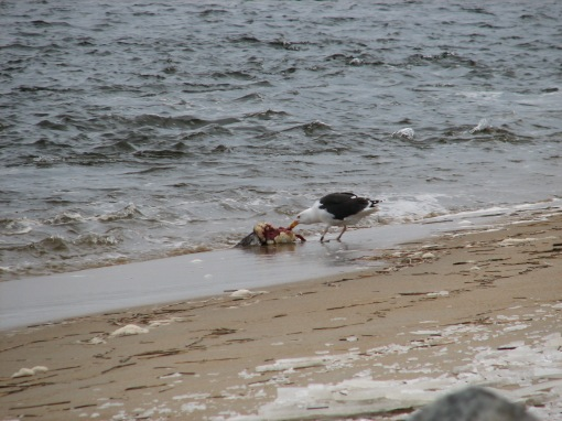 A gull at work, cleaning up the mess. (photo by D. Tracey)