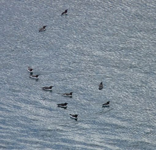 Razorbills and guillemots on the water. (photo geograph.org)