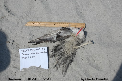 Bird B: Found by the Grundens in Maine.